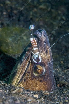 Magnificent shrimp on snake eel