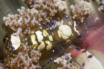 Anemone shrimp on anemone