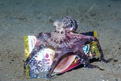 Veined octopus with rubbish collected on the sea bed