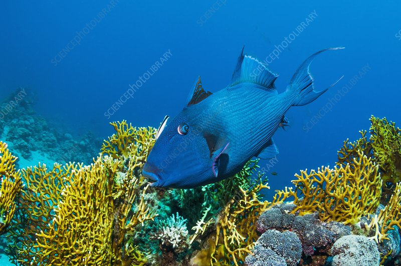 Triggerfish and cleaner wrasse over reef
