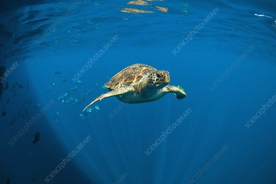 Green turtle swimming in open ocean
