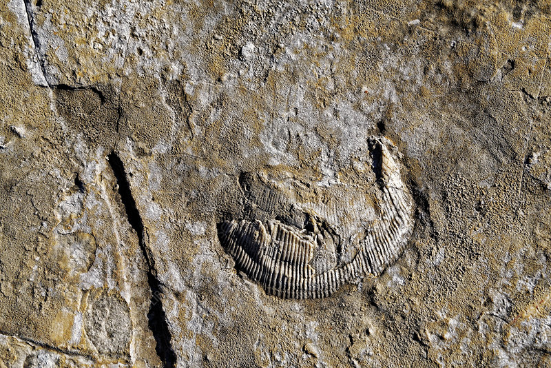 Trilobite fossil in Jurassic seabed