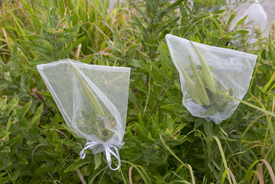 Plants bagged for seed collection