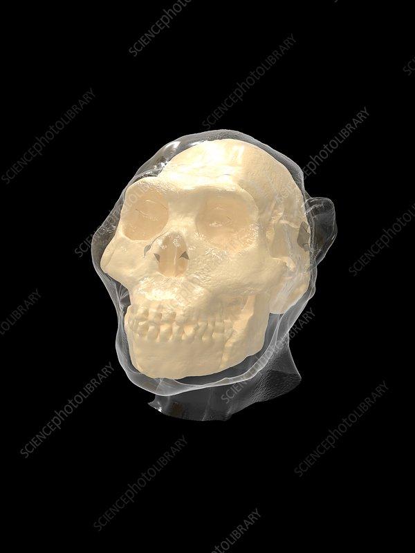 Homo naledi skull and head, illustration