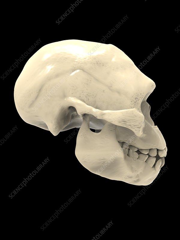 Irhoud fossil skull, illustration