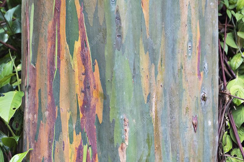 Eucalyptus bark (Eucalyptus sp.)
