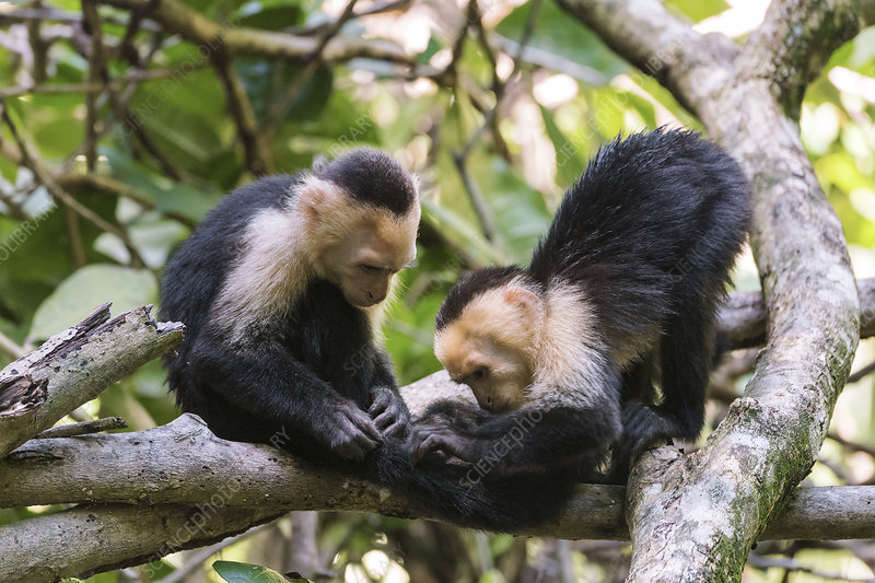 White-faced capuchin monkeys grooming
