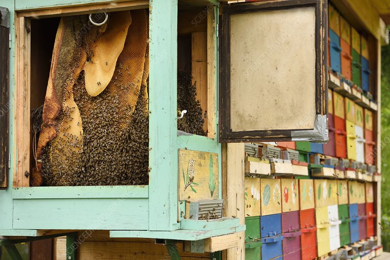 Honeycombs in open beehive