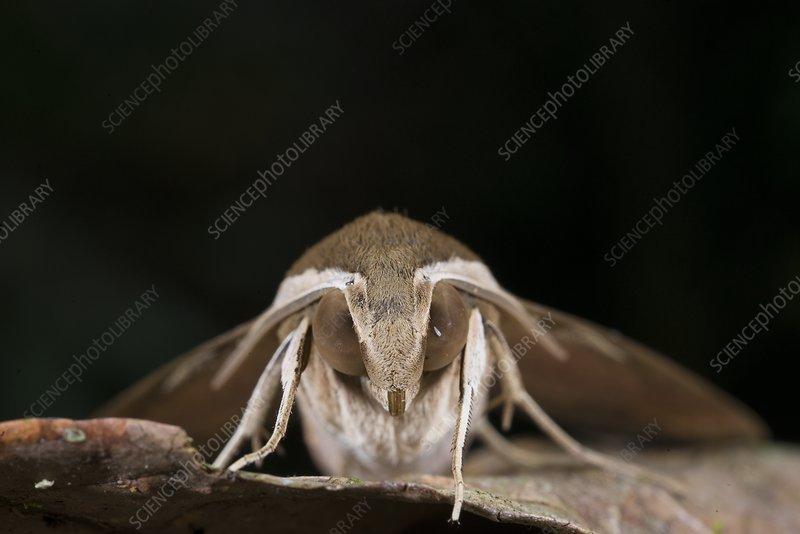 Theretra rhesus moth, Borneo