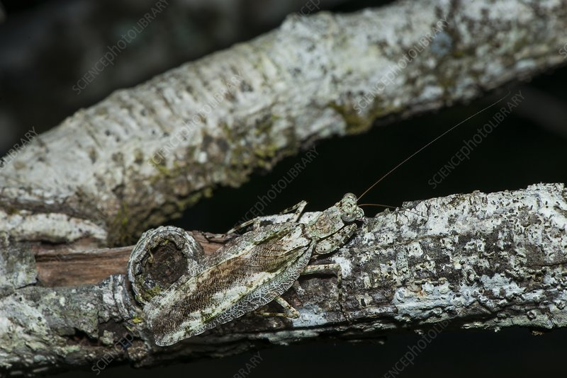 Tree bark mantis, Borneo