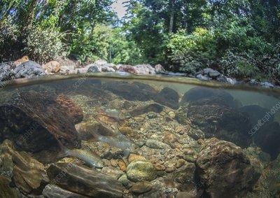 Javaen barbs in freshwater stream, Borneo