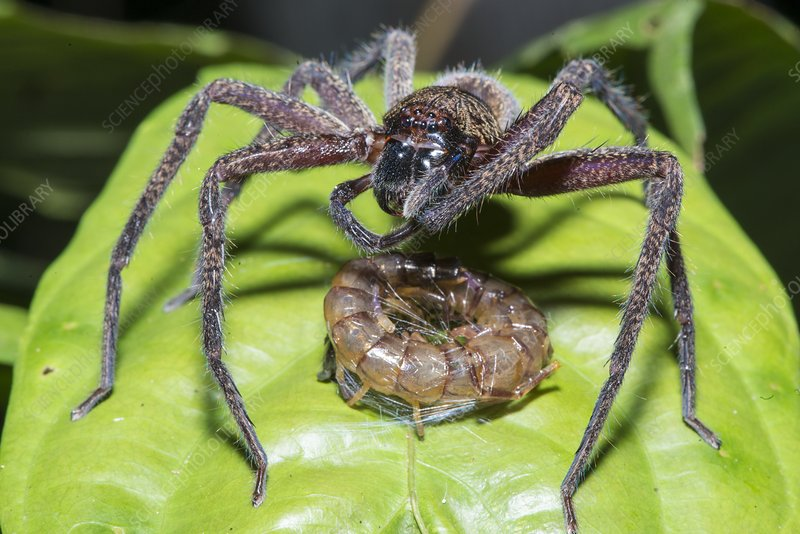 Huntsman spider with prey, Borneo
