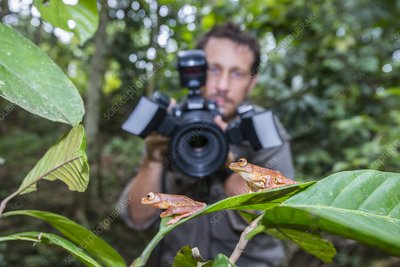 Man photographing harlequin tree frogs, Borneo
