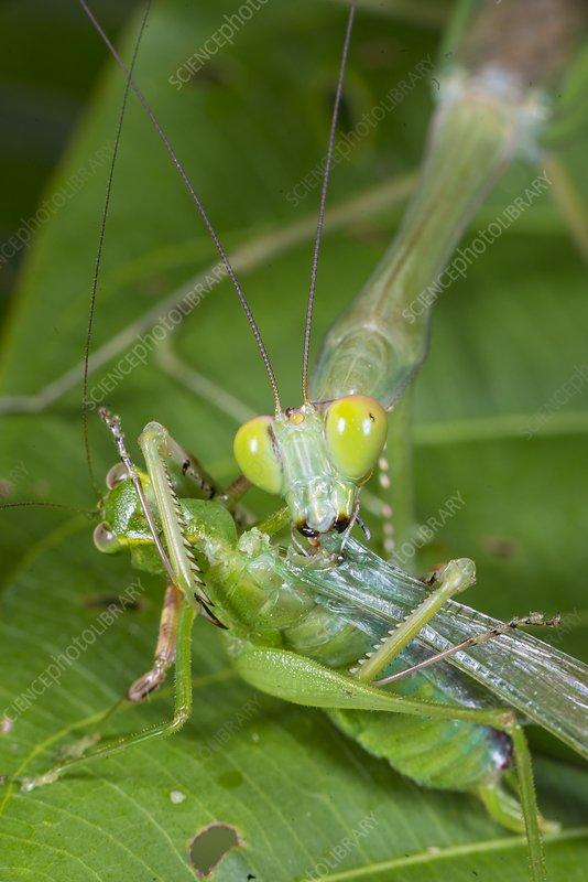 Green mantis feeding on katydid, Borneo