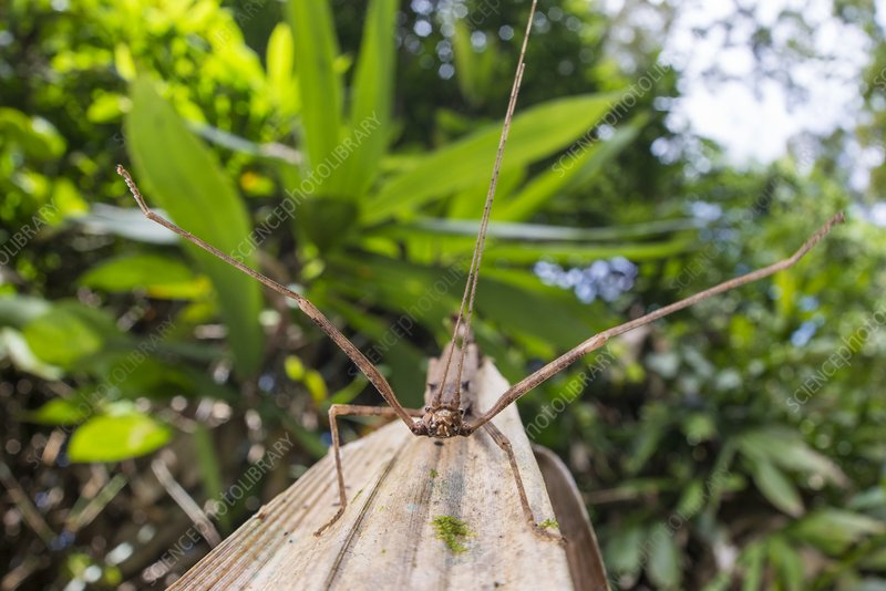 Gray's Malayan stick insect