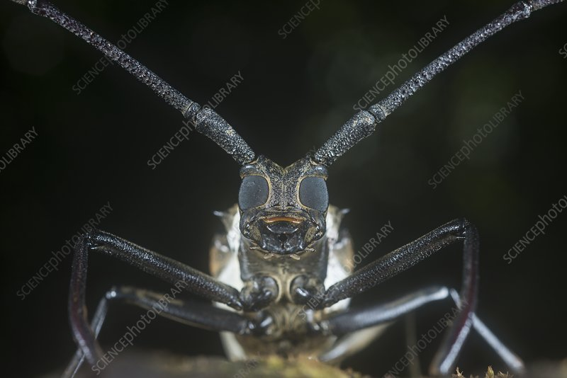 Longhorn beetle head