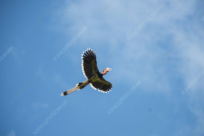 Helmeted Hornbill in flight