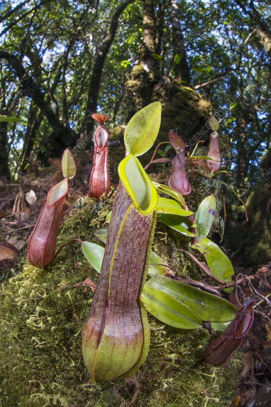 Fringed pitcher plants (Nepenthes tentaculata)