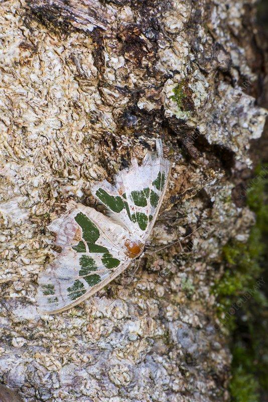 Antitrigodes divisaria moth, Borneo
