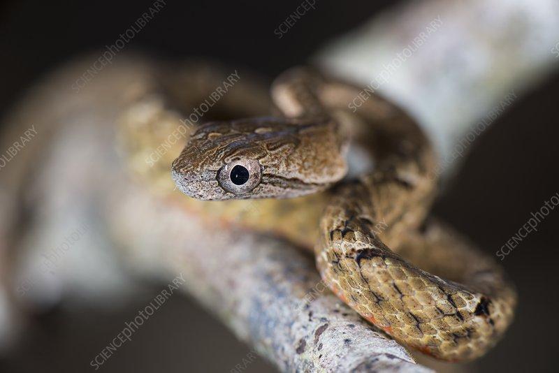 Common mock viper head