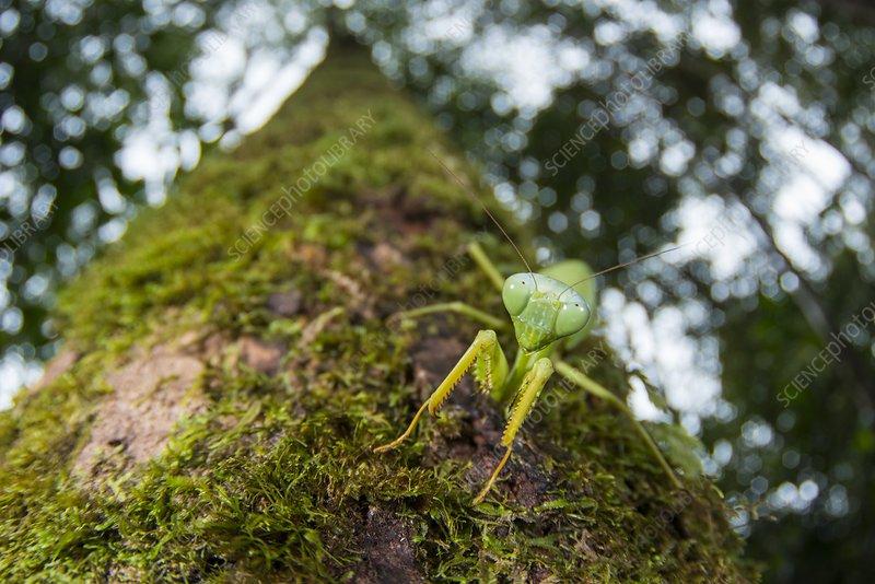 Green mantis, Borneo
