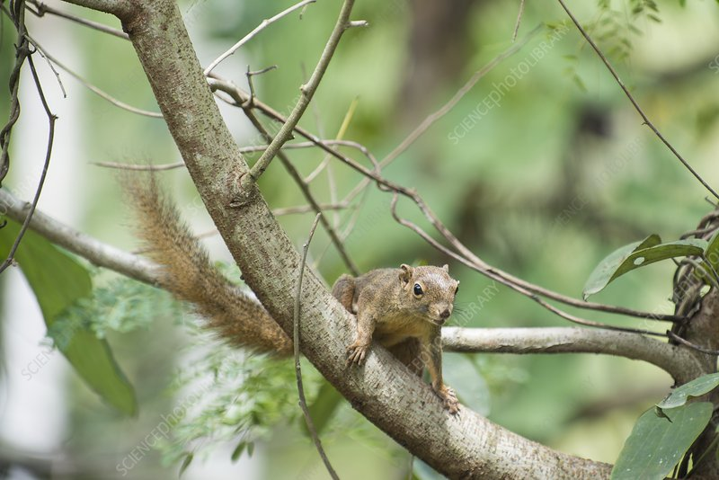 Plantain squirrel in tree
