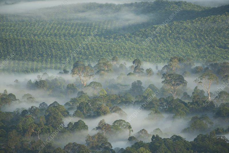Palm oil plantation, Borneo