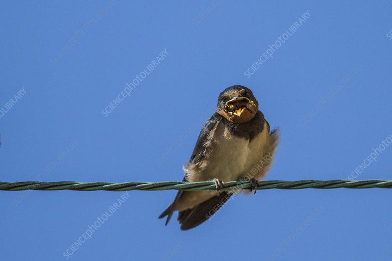 Barn swallow chicks, UK