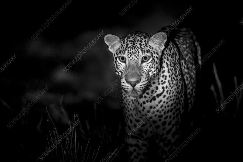 Leopard at night, Sri Lanka