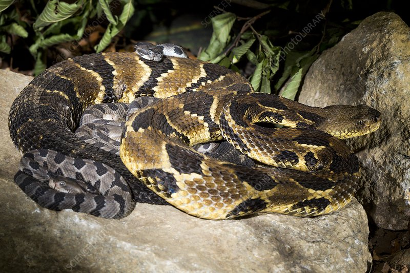 Timber rattlesnake and young