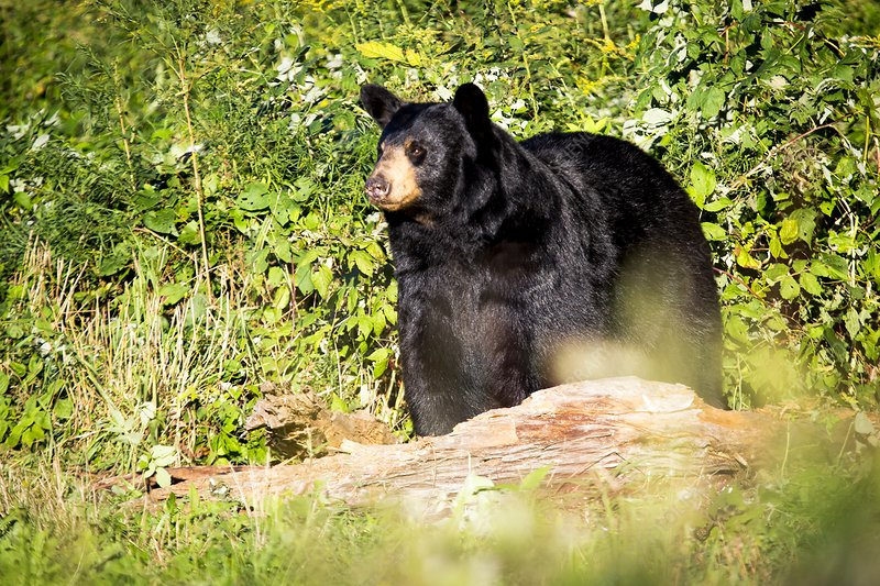 Black bear preparing for hibernation, USA