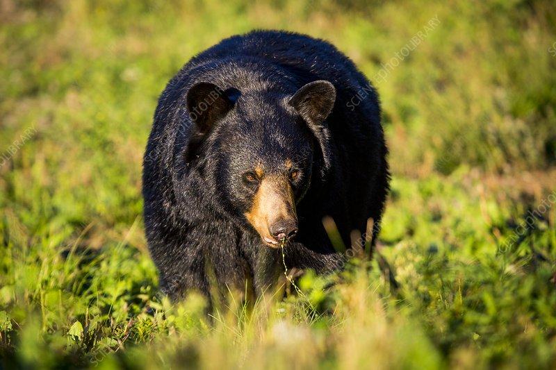Black bear preparing for hibernation, USA