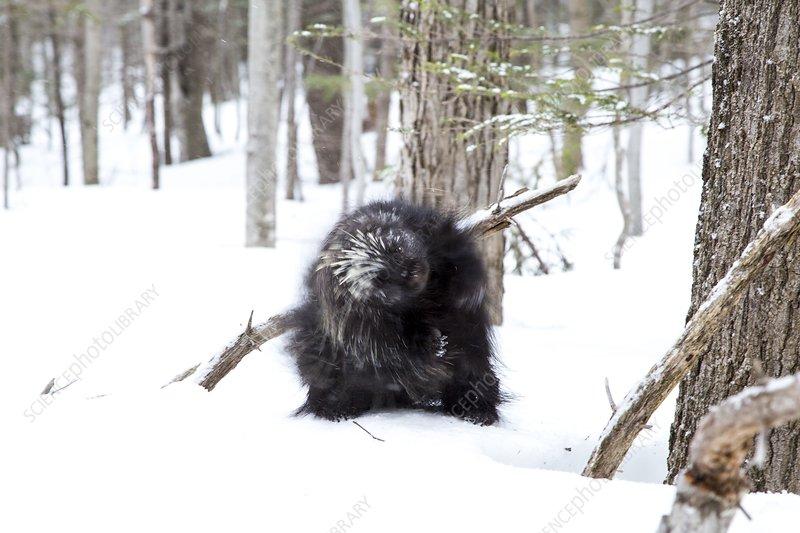 North American porcupine in snow