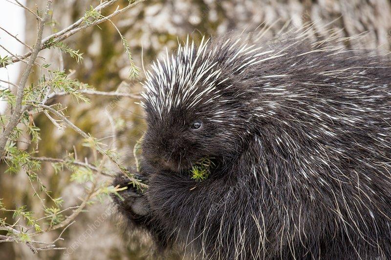 Porcupine feeding on spruce tree