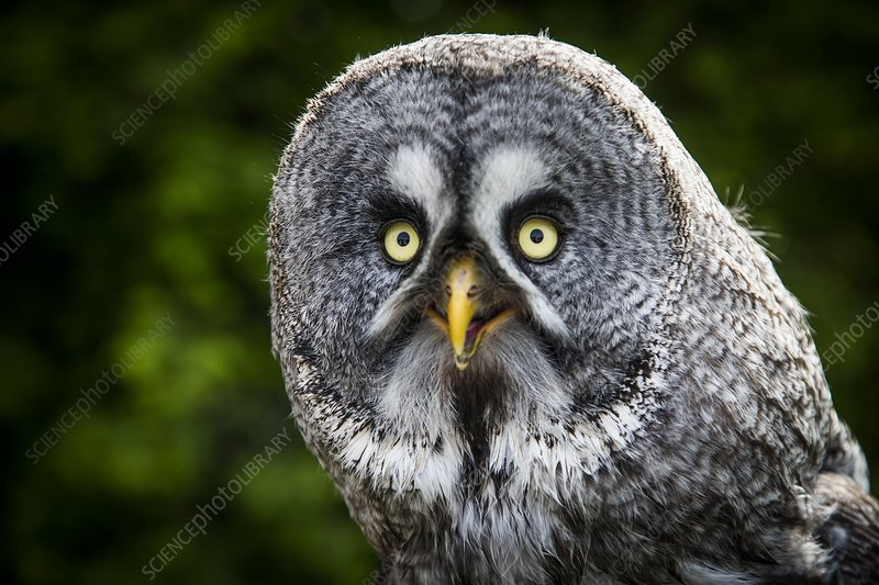 Great grey owl head