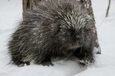 North American porcupine in snow