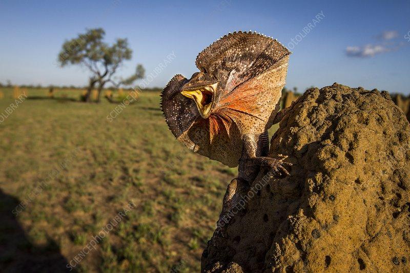 Frill-neck lizard displaying