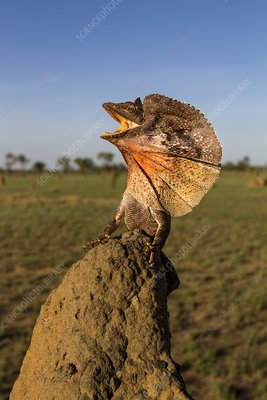 Frill-neck lizard displaying