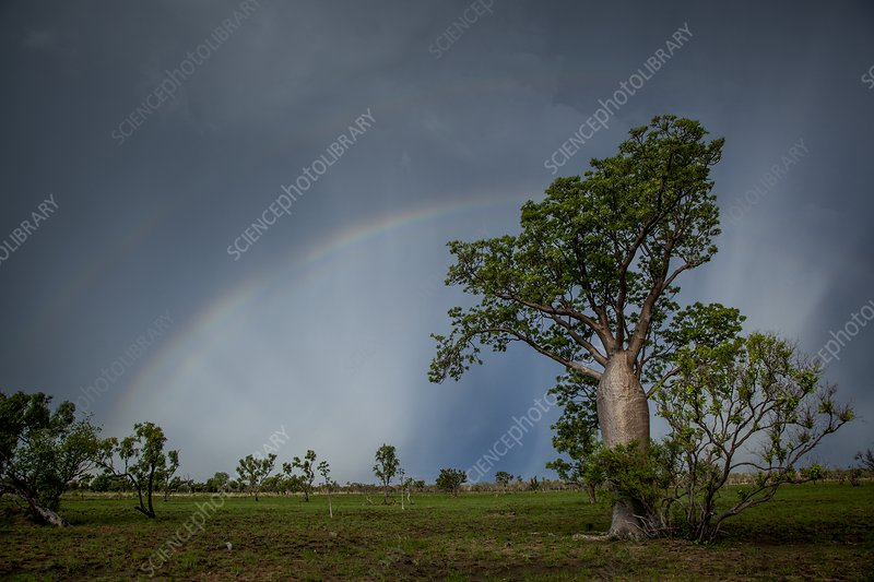 Rainbow over boab tree, Australia