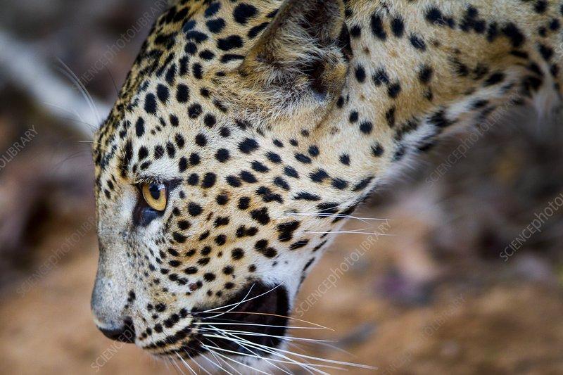 Leopard head, Sri Lanka