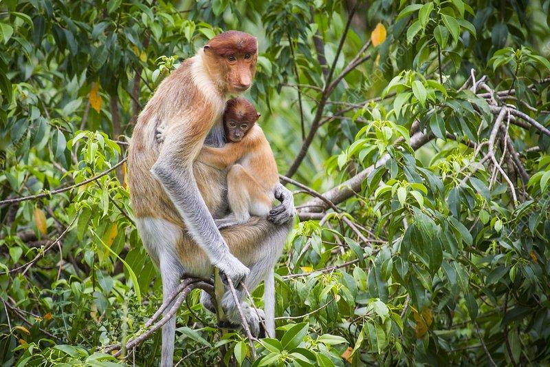 Female proboscis monkey and young