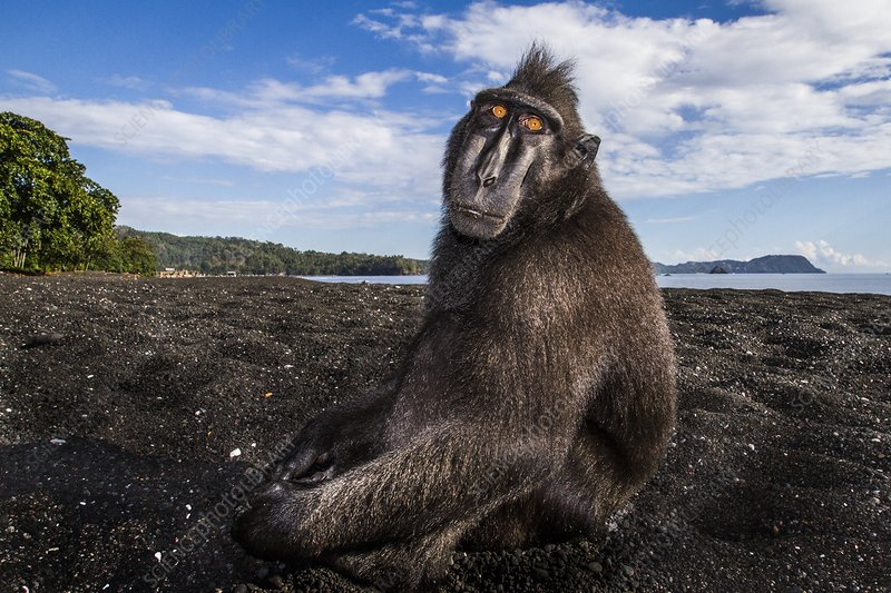 Crested black macaque, Indonesia