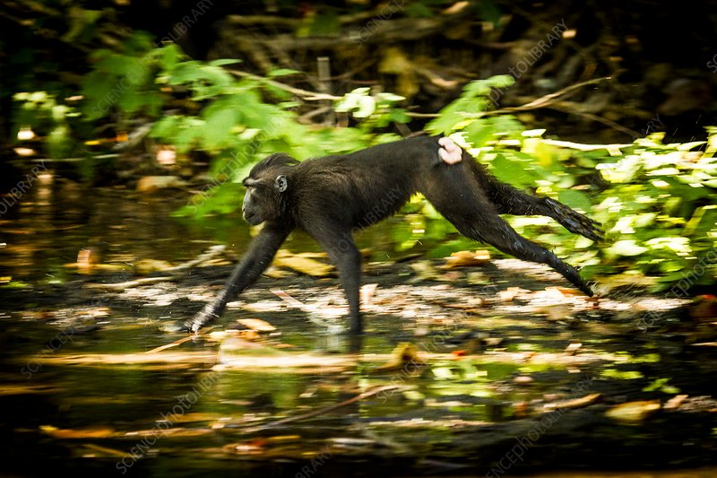 Crested black macaque running, Indonesia