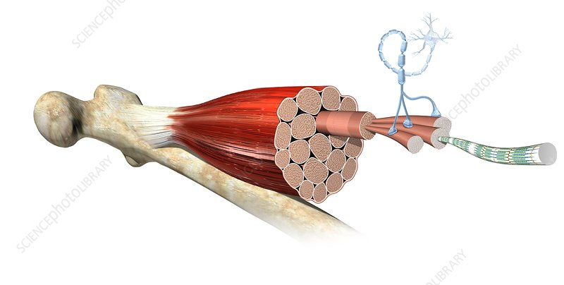Muscle fibre anatomy, illustration