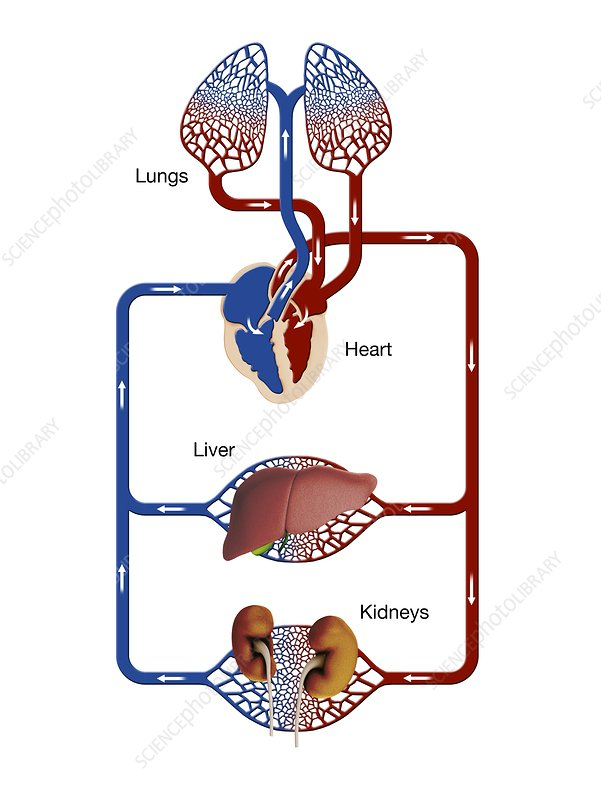 Liver and kidney blood supply, illustration - Stock Image C038/8406 ...
