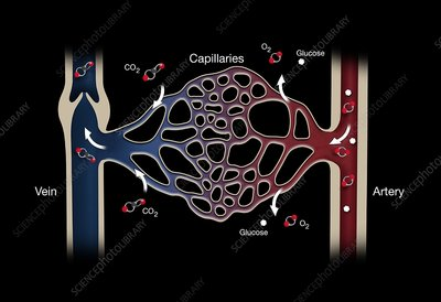 Capillary system, illustration
