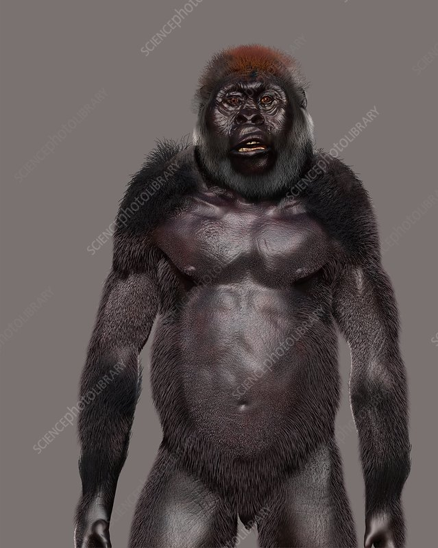 Paranthropus boisei male, illustration