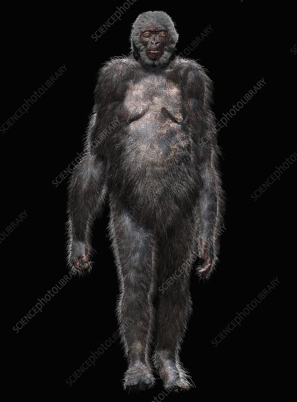 Ardipithecus ramidus early hominid, illustration