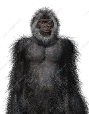 Ardipithecus ramidus male, illustration