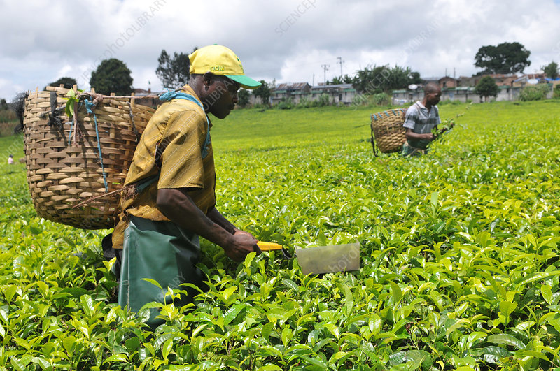 Tea picking in Tanzania